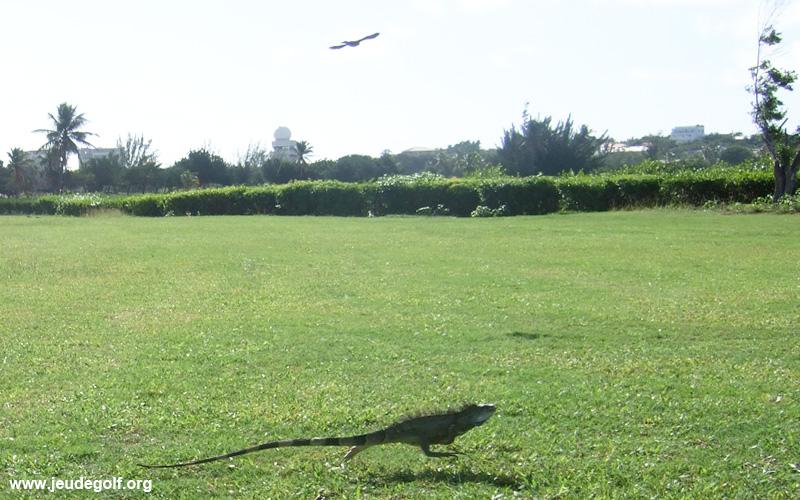 Iguane sur le parcours de Mullet Bay Golf Course